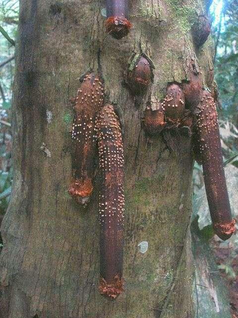 Iriartea gigantea – пальма з самою незвичайною формою коренів (6 фото)