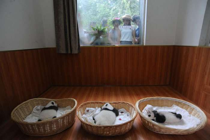 У китайському центрі збереження популяції панд влаштували оглядини новонароджених (16 фото)