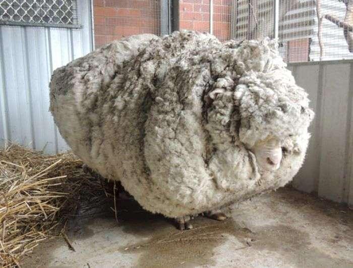 В Австралії з заблуканої вівці зістригли 40 кг вовни (8 фото)