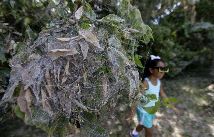 У Техасі тисяча павуків сплела гігантську павутину (5 фото)