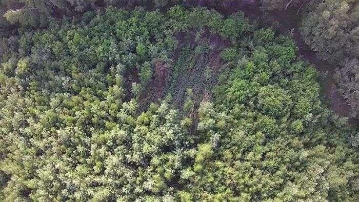 В лісі Челябінської області виявлено аномально повалені дерева (5 фото)