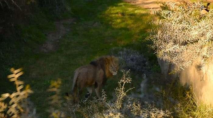 Незграбний лев упав у річку (6 фото)