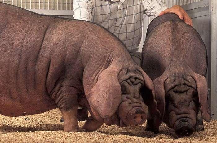 Самі незвичайні тварини, що зявилися на світ завдяки селекції (7 фото)