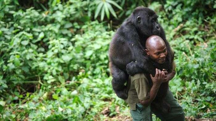 Сумне фото: чоловік втішає горилу (2 фото)