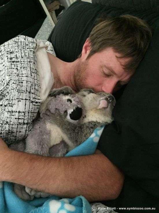 Мила коала знайшла нову сімю (7 фото + відео)