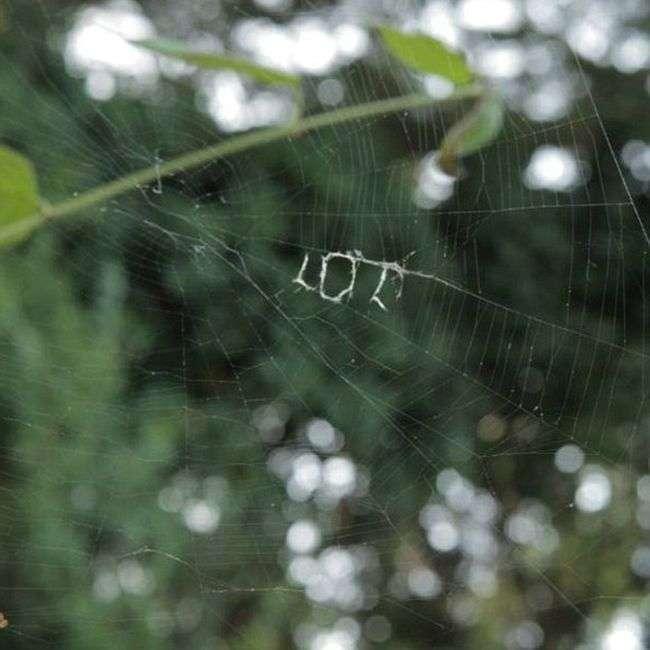 Павук з допомогою павутини написав «LOL» (2 фото)
