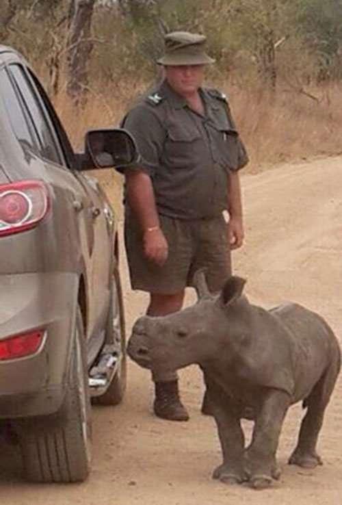 Дитинча носорога прийняв автомобіль за свою маму (3 фото)