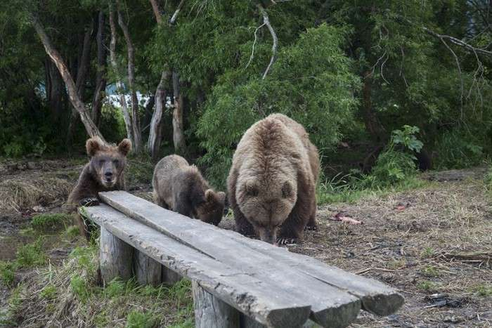 Як фотографують ведмедів в дикій природі (11 фото)