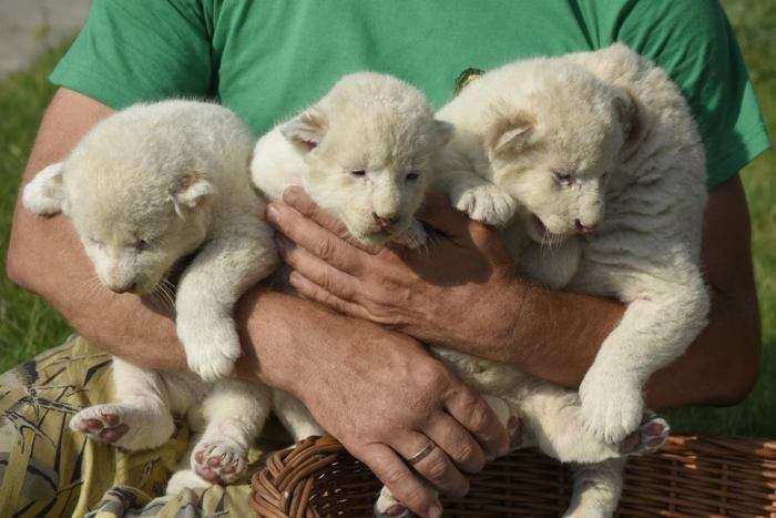 У кримському сафарі-парку «Тайган» народилися вісім білих левенят (6 фото)
