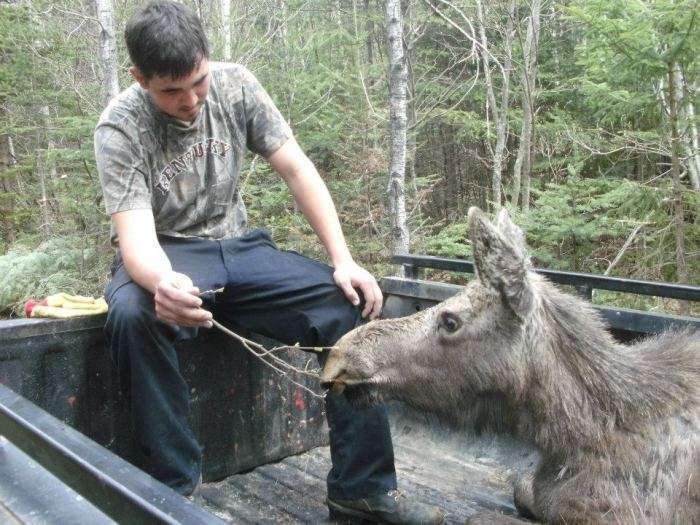 Порятунок однорічного лося (7 фото)