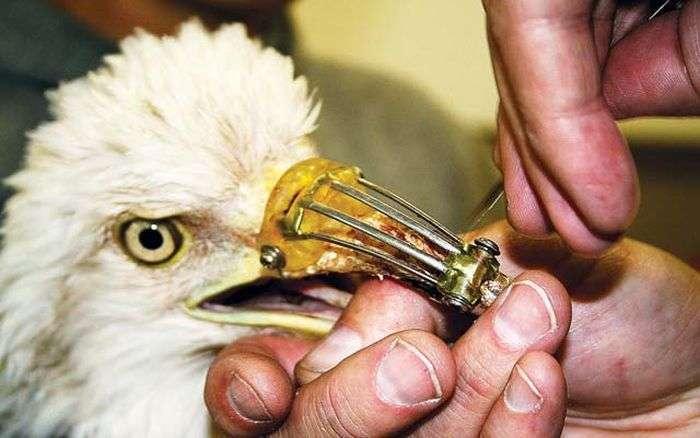 Канадський дантист врятував орла (3 фото)