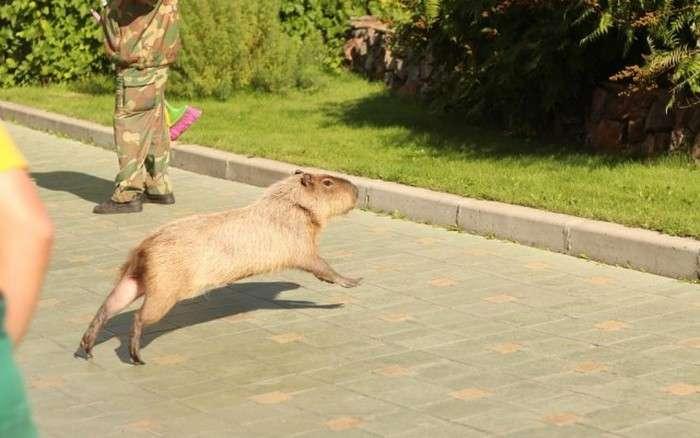 Втеча капібара (9 фото + відео)