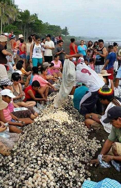 У Коста-Ріці люди завадили черепахам відкласти яйця (11 фото)