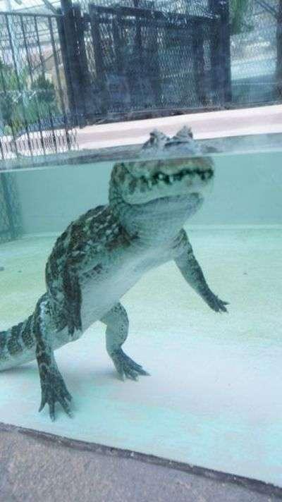 Ось що насправді робить крокодил в цей момент (3 фото)