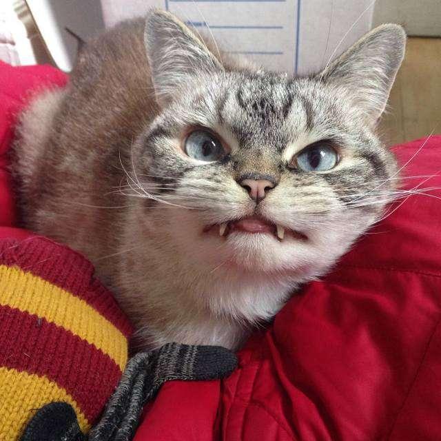 Кіт-вампір по кличці Локі – нова зірка Instagram (19 фото)