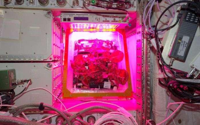 На МКС вперше виростили овочі (7 фото + відео)