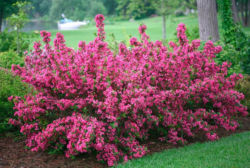 Разноцветные кустарники на участке: чарующее великолепие сада! сад