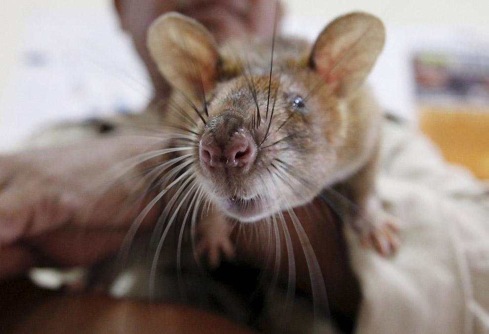 Крысы-саперы животные,интересное,крысы